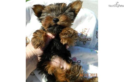 yorkie puppies for sale in south bend indiana terrier yorkie puppy for sale near south bend michiana indiana