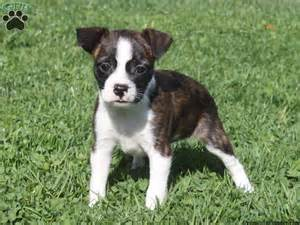 boston terrier mix puppies for sale boston terrier pug mix puppies for sale breeds picture