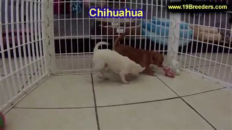 craigslist chihuahua puppies for sale chihuahua puppies dogs for sale in ta florida fl 19breeders fort lauderdale