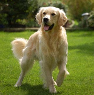 chien golden retriever brussels best walker articles divers