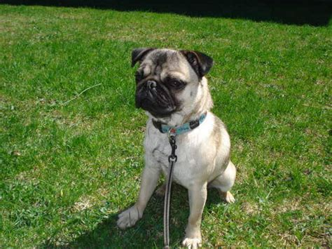 pugs for sale in ontario canada 2 year pug for sale adoption from peterborough ontario adpost classifieds