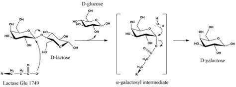 diagram of lactose and lactase reaction lactase