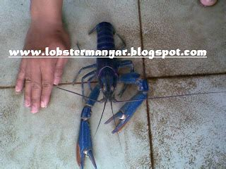 Bibit Lobster Air Tawar Di Jakarta udang lobster manyar lobster air tawar photo