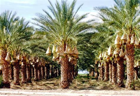 Nature Stek Pohon mengenal buah kurma khasiat manfaat bagi kesehatan