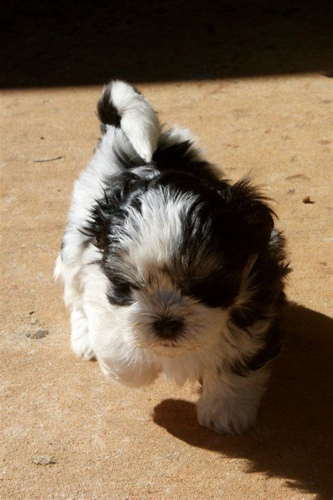 shih tzu puppies for sale adelaide maltese cross shih tzu puppies for sale adelaide breeds picture