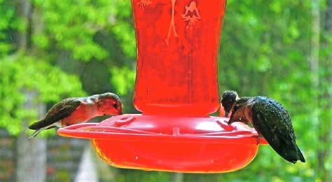 happy hummers healthy hummingbird food sustainable