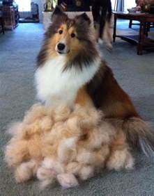 Why Dogs Shed Hair by Image Gallery Sheltie Shedding