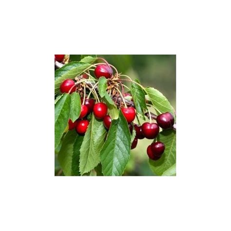 All About Cherries by Celeste Cherry Tree Buy Cherry Fruit Trees