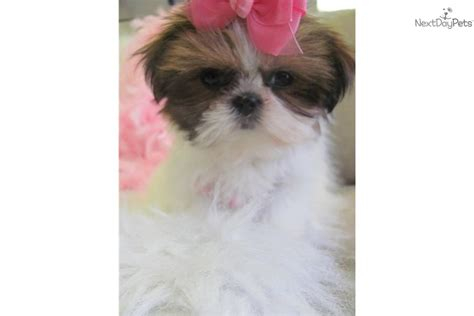 teacup shih tzu puppies for sale near me teacup shih tzu for sale in florida breeds picture