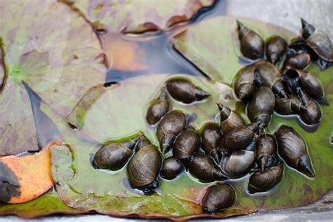 algenfresser fuer den teich diese tiere haben algen zum