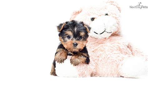 free yorkie puppies in ohio terrier yorkie puppy for sale near columbus ohio 4705c81c bc71