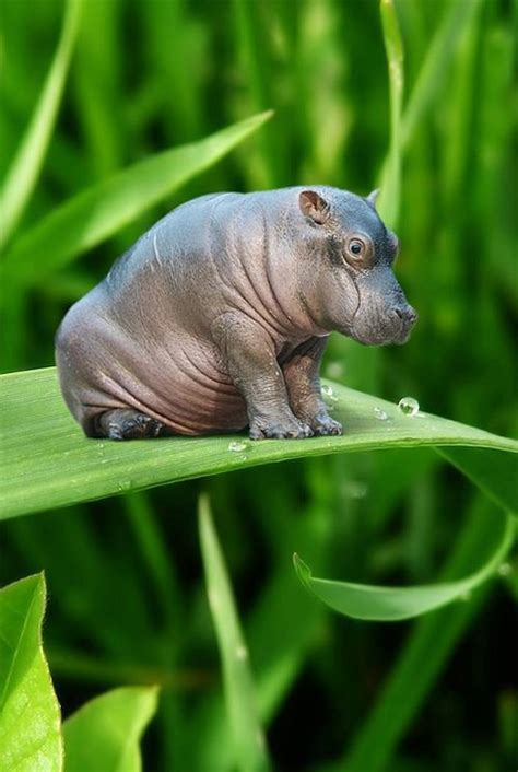 Hippo Top 1 36 best flying hippos images on hippopotamus animals and baby hippo
