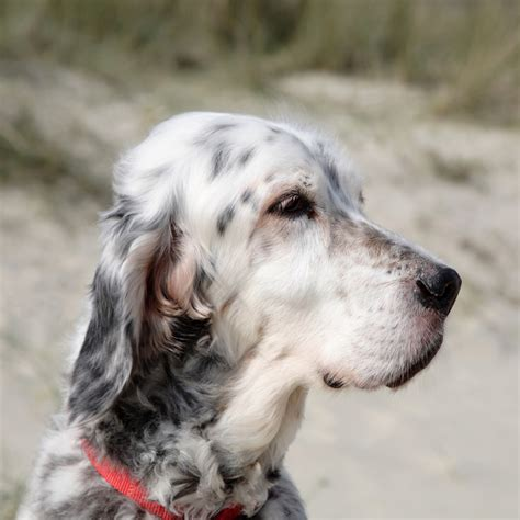small setter dogs english setter breed guide learn about the english setter