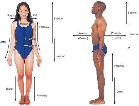 anatomical position diagram think science 187 anatomical position directional terms planes