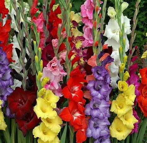 budidaya tanaman hias gladiol  benar