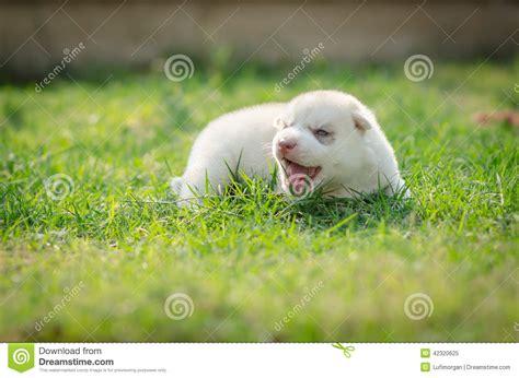 howling golden retriever howling puppy siberian husky stock photo image 42320625