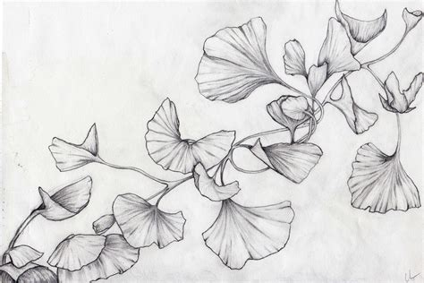 ginkgo drawings lara ghelerter artworks