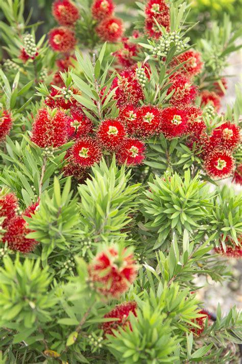 light show red bottlebrush southern living plants