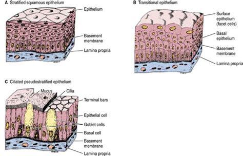 human tissue diagram human epithelial tissue diagram www pixshark