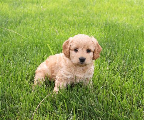 cockapoo puppies for sale nc beautiful charming cockapoo puppies craigspets
