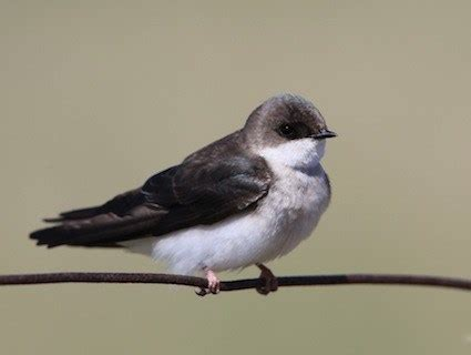 bank swallow identification all about birds cornell