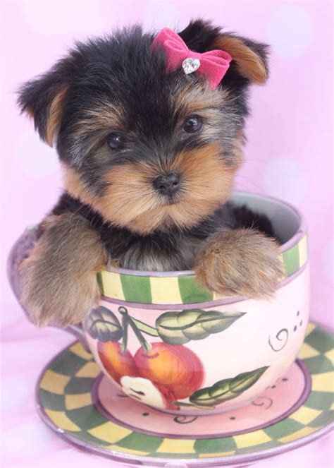 teacup yorkie miami micro teacup yorkies for sale in miami