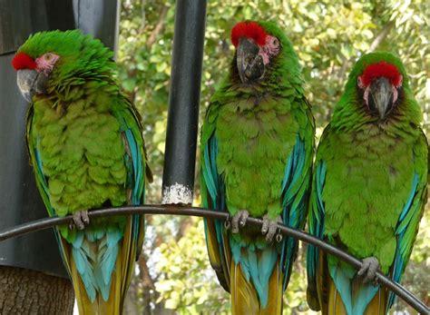 imagenes guacamayas verdes especies en peligro de extincion america latina taringa