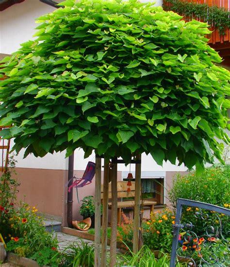 garten mit bambus 1835 catalpa bignoides nana 10 12 exotik im garten kugelkrone
