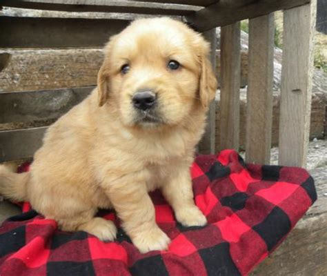 healthy golden retriever healthy golden retriever puppy animals is a golden retriever who has