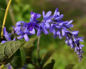 photos of flowers photos of colombia flowers petrea volubilis