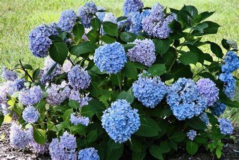 Blue Garden Flowers Hydrangea Flower Garden Flower In Blue Color Jpg