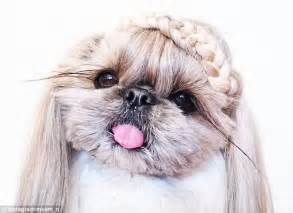 shih tzu puppy hair styles shih tzu showcases hairstyles before they appear on the catwalks daily mail