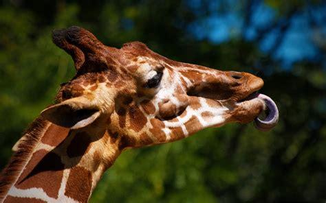 imagenes de jirafas sacando la lengua fondos de pantalla de jirafa con la lengua de fuera tama 241 o