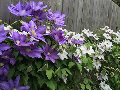 Pflege Clematis by How To Care For Clematis Goodstuffathome