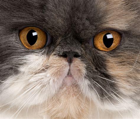 gatto persiani gatto persiano conosciamo il re dei gatti zoolandia family