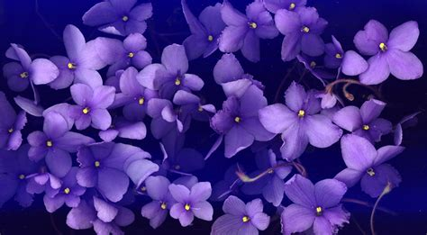 viola flower wallpaper www pixshark com images viola flower wallpaper www pixshark com images