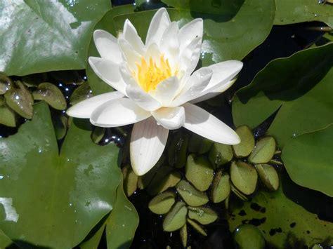 fiore bianco profumato ninfee barbagli fiore bianco