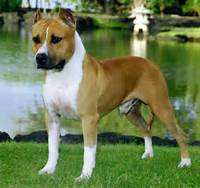 The American Staffordshire Terrier They Are Brave Tenacious Friendly