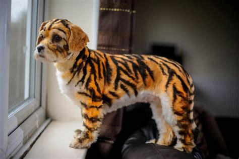 that looks like a tiger meet millie the tiny painted to look like a tiger she s grrreat daily