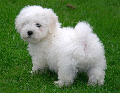 bichon puppies beautiful bichon puppies stoke on trent staffordshire pets4homes
