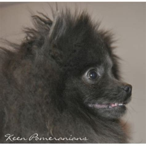 free pomeranian puppies in alabama keen pomeranians pomeranian breeder in huntsville alabama listing id 21713