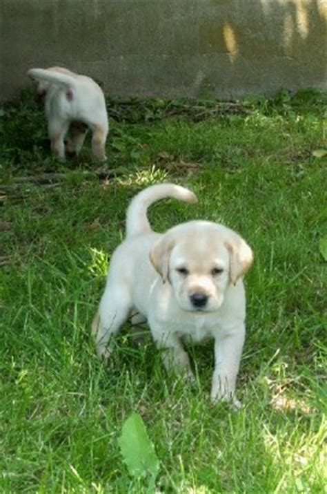 yellow lab puppies for sale in ma labrador retriever puppies for sale