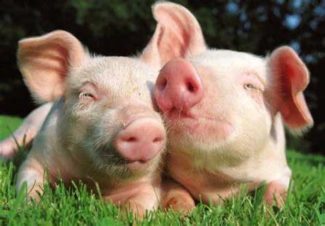 Ton Nasa Untuk Lele panduan budidaya ternak babi peternakan perikanan