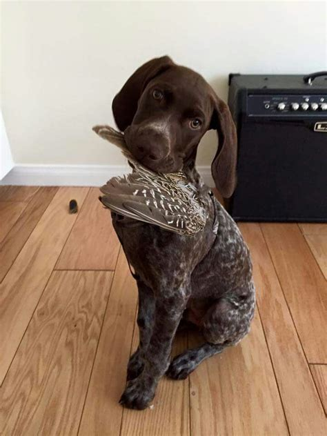 gsp puppy 25 best ideas about gsp puppies on german shorthaired pointer pointer