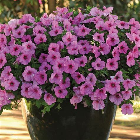 Wave And Flower petunia easy wave bubblegum annual plants thompson