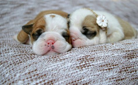 how many puppies can a bulldog how many days can a get pets world