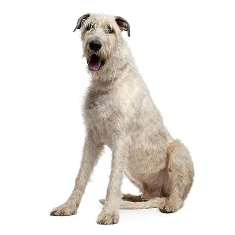 Wolfhound Shedding by Wolfhound See Description And Pictures Of This