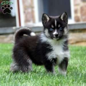 the complete guide to pomsky pomsky from start to finish books pomsky puppies www pixshark images galleries with