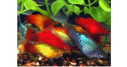 Makanan Ikan Hias Sepat ikan hias air tawar yang mudah dipelihara budidaya ikan