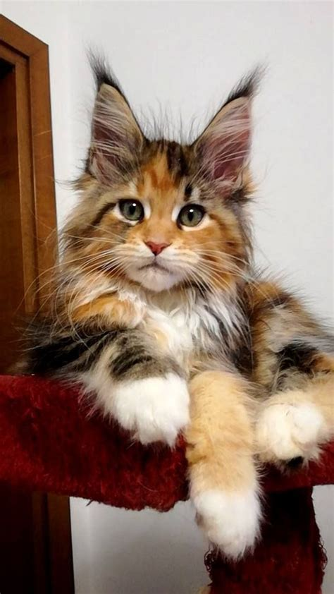 I love cat   Cat   Pinterest   Maine coon, Fur and Cat